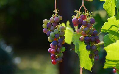 Quelles sont les cépages du vignoble Provençal ?